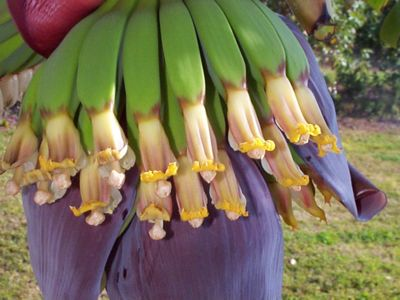 bananaflower2a