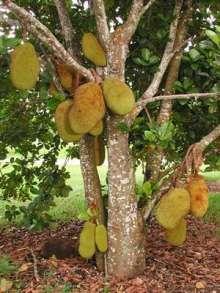 jackfruit-sdling