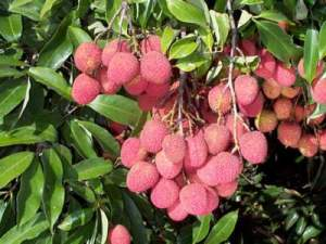 lychee2