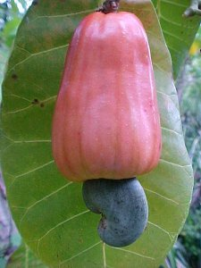 ph01Anacardium_occidentale_Cashew