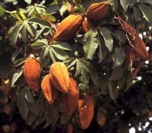 ph01Pachira_insignis_GuianaorMalabarchestnut