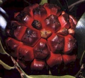 ph03Duguetia_lanceolata_Pindaiba