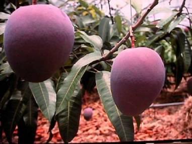 ph03Mangifera-indica_Keittmango
