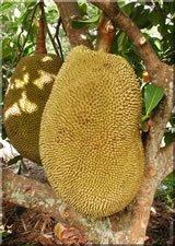 ph04Artocarpus_heterophyllus_Jackfruit
