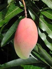 saber-mango