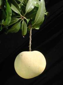 TylerPremere-mango